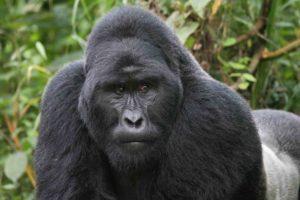 Gorilla.silver back.