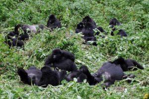 m.gorilla family