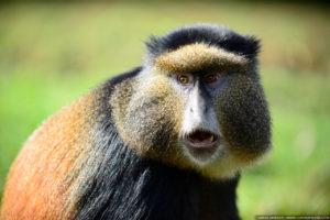 Golden monkey, Rwanda.