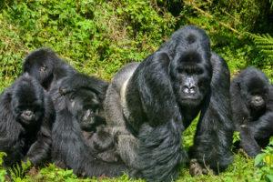 Neben dem Bwindi Impenetrable Nationalpark ist der Mgahinga Gorilla Nationlpark der zweite Ort in Uganda, an dem große Familien von Berggorillas zu finden sind