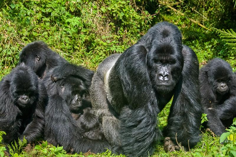 gorillas in verge of extinction