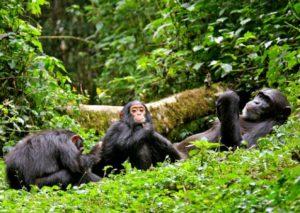 chimp-chimp